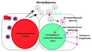 Механизм действия интерферонов