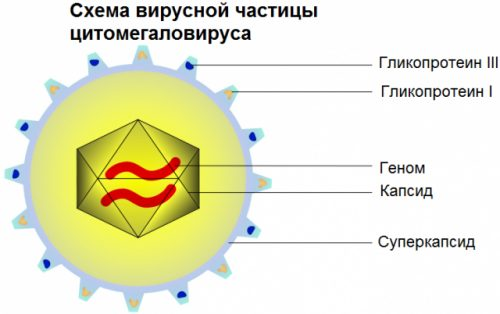 Схема вирусной частицы цитомегаловируса