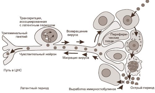 Схема активации герпесвирусной инфекции
