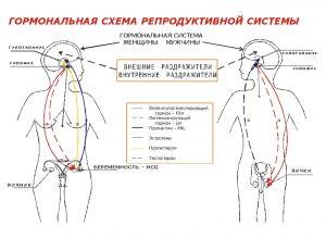 Гормональная схема репродуктивной системы