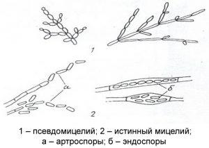 Мицелиальные формы грибков