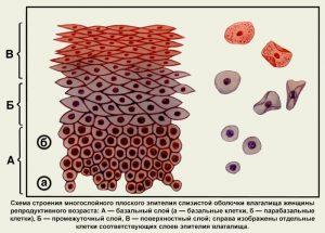 Схема строения эпителия слизистой влагалища