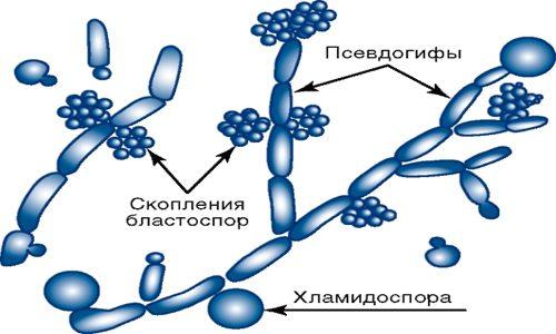 Строение Candida albicans