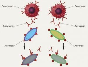 Антитела и антигены