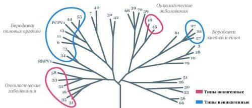 Генетическое дерево семейства ВПЧ