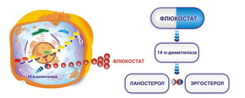 Механизм действия Флюкостата