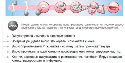 Особенности герпесвируса