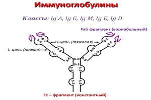 Строение иммуноглобулинов