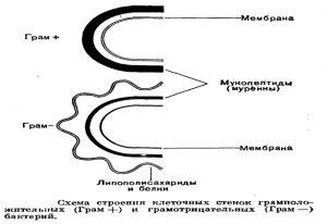 Строение клеточных стенок бактерий