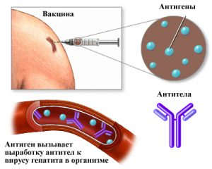 Действие вакцины от гепатита