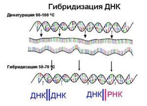 Гибридизация ДНК