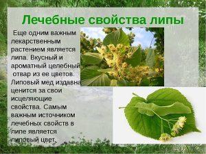 Лечебные свойства липы