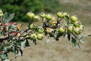 Листья дикой груши