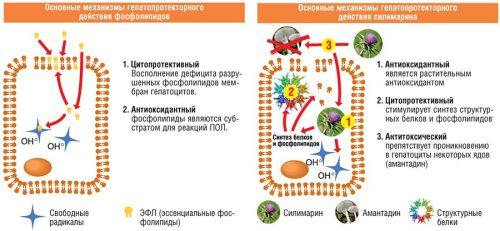 Механизмы гепатопротекторного действия