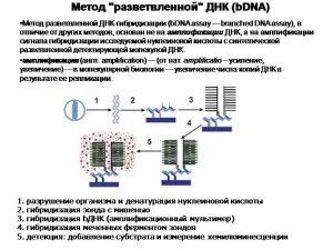 Метод разветвленной ДНК