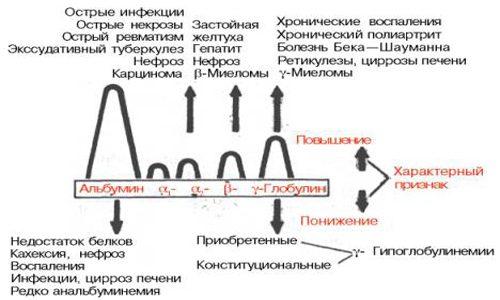 Схема соотношения альбумин-глобулинов