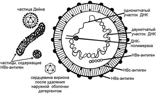 Схематическое изображение вируса гепатита В
