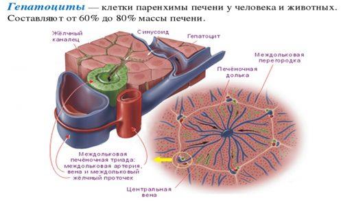Строение гепатоцитов