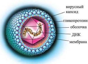 Строение вирусной частицы ЦМВ