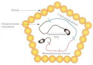 Структура вируса гепатита А