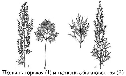 Виды полыни