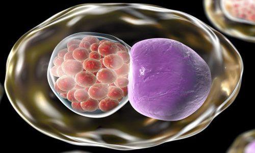 Клетки хламидий