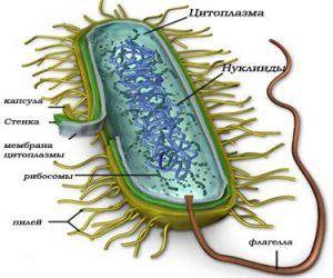 Структура микоплазмы
