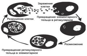 Цикл развития хламидий