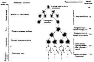 Сперматогенез человека