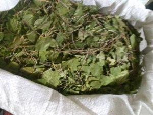 Сухие листья ортилии однобокой