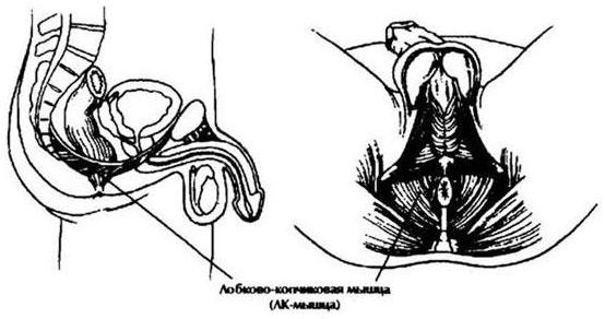 Лобково-копчиковая мышца
