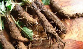 Применение корня лопуха