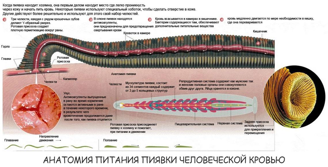 Анатомия питания пиявки