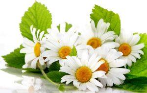 Польза цветков ромашки