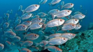 Жир из мелких морских рыб