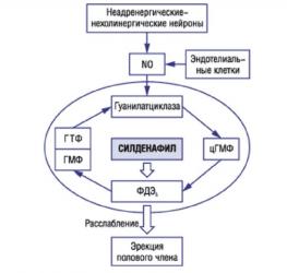 Схема действия Силденафила