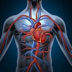 Хорошее кровоснабжение органов