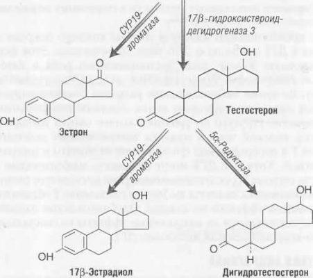 Изоферменты 5a-редуктазы