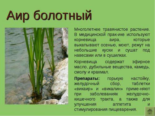 Польза растения аир болотный