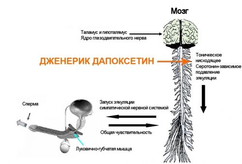 Действие дапоксетина