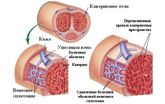 Приток крови к пенису