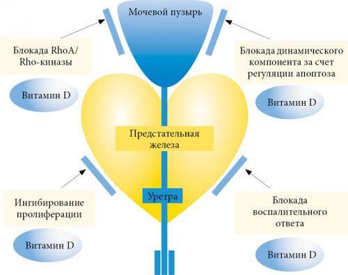 Влияние витамина D на простату