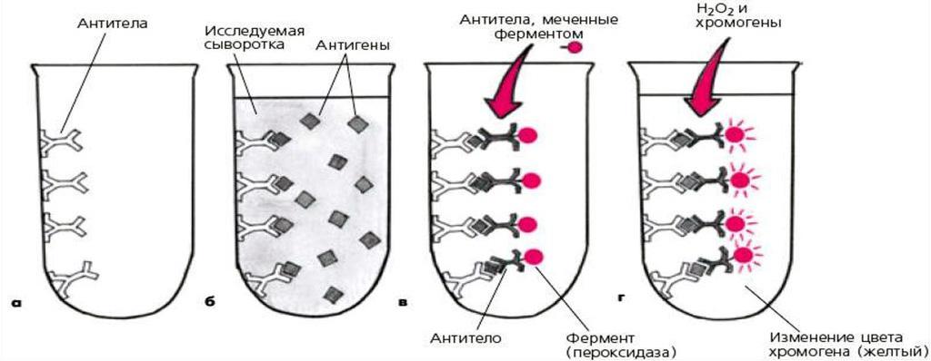 Схема проведения ИФА