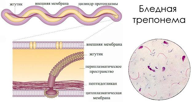 Строение возбудителя сифилиса